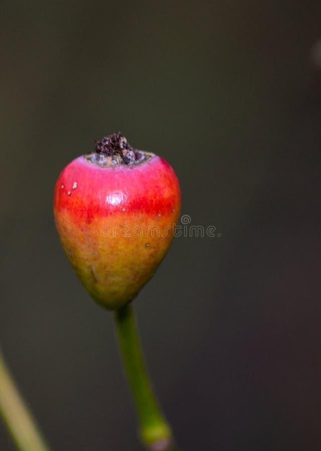 熟悉内情的例证查出的玫瑰色向量白色 免版税库存图片
