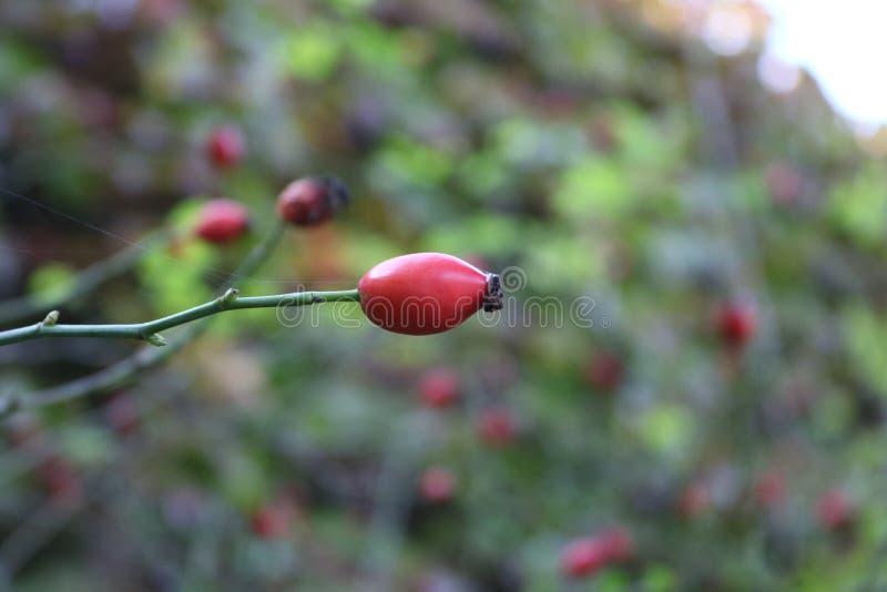 熟悉内情的例证查出的玫瑰色向量白色 免版税库存照片