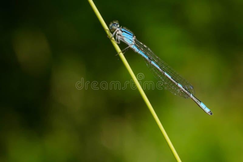 熟悉的Bluet蜻蜓- civile的Enallagma 免版税库存照片