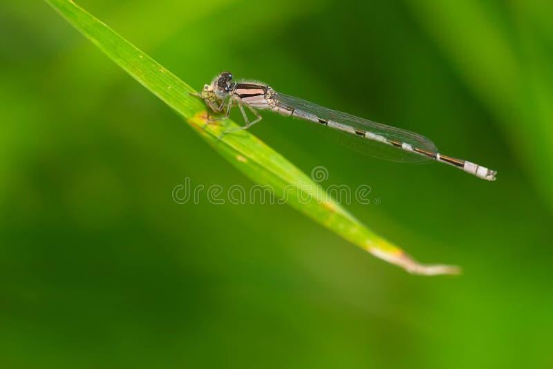 熟悉的Bluet蜻蜓- civile的Enallagma 免版税库存图片