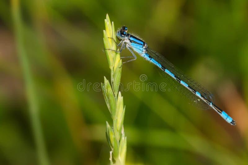 熟悉的Bluet蜻蜓- civile的Enallagma 库存照片