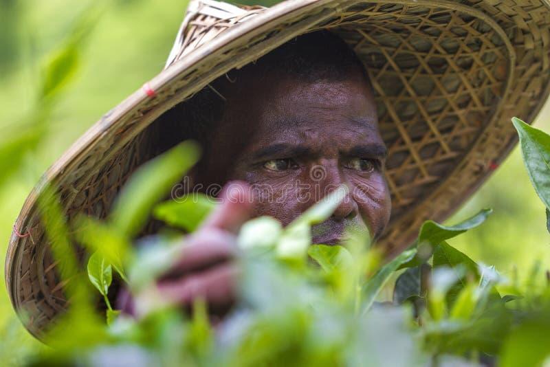 熟练工在Moulovibazar,孟加拉国递采摘绿茶未加工的叶子 免版税库存图片