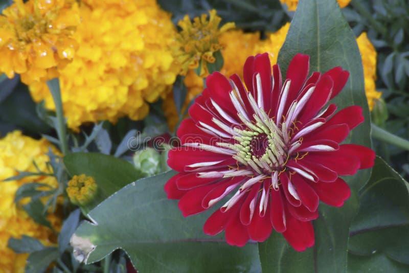 燃烧在夏天太阳的美丽的明亮的红色和白色镶边格伯雏菊 库存照片
