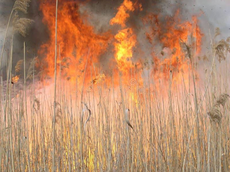 燃烧的草 火烧伤在领域留残梗 免版税库存照片