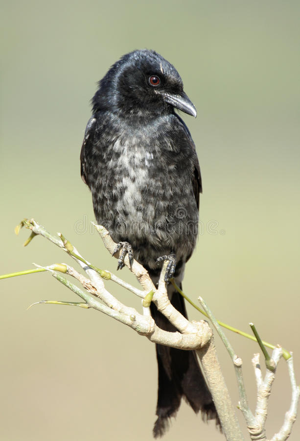 黑燕卷尾 图库摄影