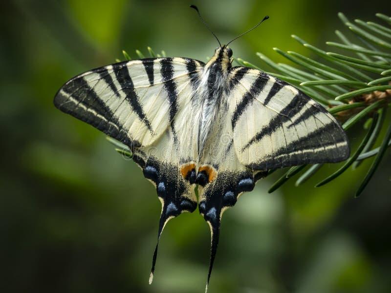 燕子尾巴` Iphiclides podalirius在圣诞树的一根绿色针的`蝴蝶早晨宏观照片  库存图片