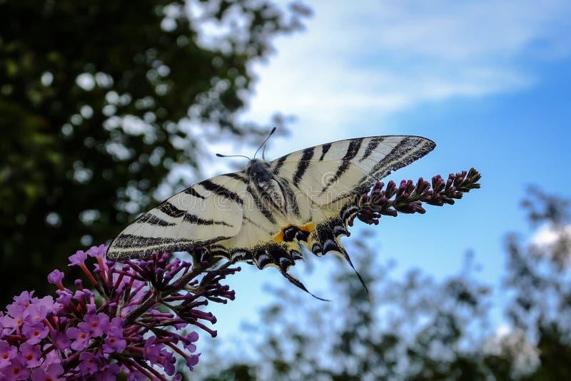 燕子尾巴Iphiclides在Buddleja davidii开花的灌木的podalirius蝴蝶宏观照片  免版税库存照片