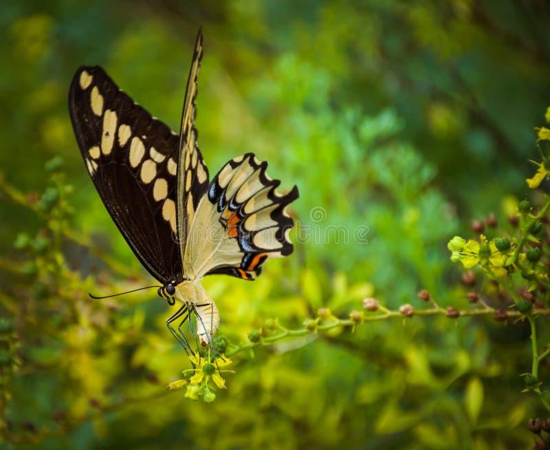 燕子尾巴在花的蝴蝶着陆 库存照片