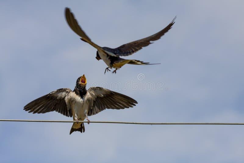 燕子的空中杂技 免版税库存图片