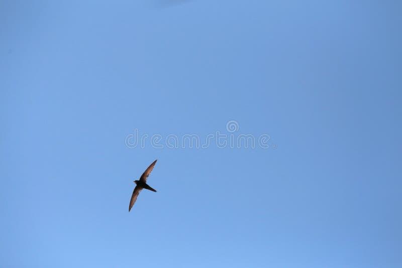燕子飞行中在马略卡天空在初夏季节期间 库存图片