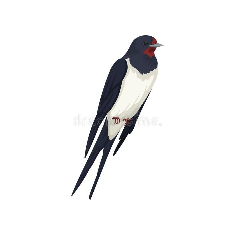 燕子鸟 与分叉的尾巴和长的针对性的翼的美丽的歌手 野生生物题材 详细的传染媒介元素为 向量例证
