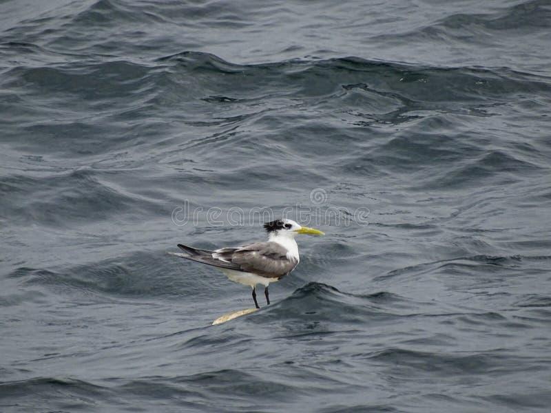 燕鸥在海洋 免版税库存照片