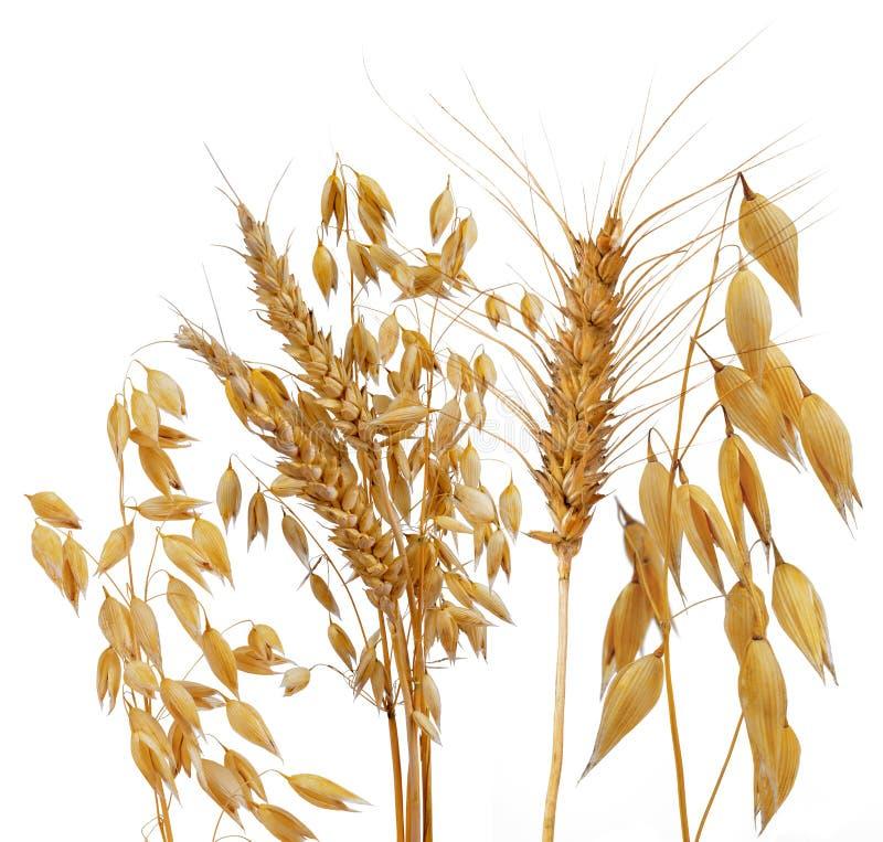 燕麦、黑麦和麦子 免版税库存照片