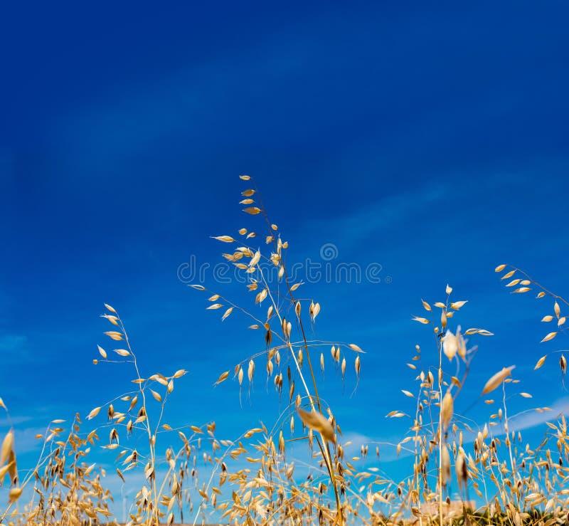 燕麦和金黄谷物特写镜头由太阳在可爱的天空蔚蓝 免版税库存图片