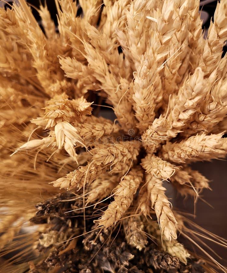燕麦引起耳朵 库存照片