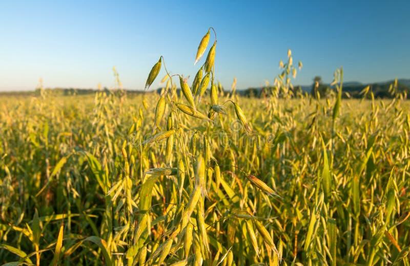 燕麦的域 免版税库存照片