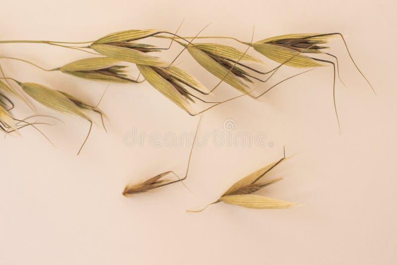 燕麦的小尖峰在浅粉红色的背景的 r 图库摄影