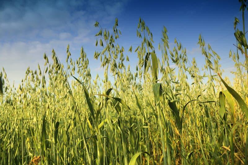 燕麦的领域 库存照片