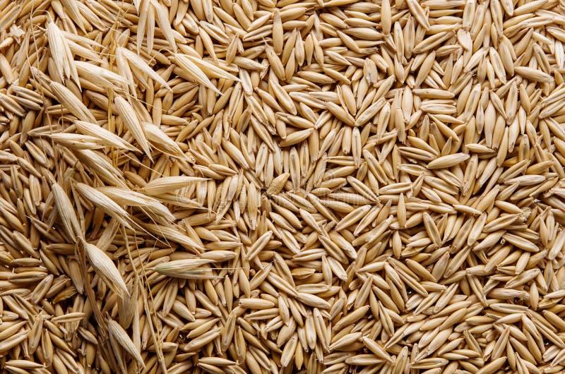 燕麦粥成熟干燥五谷和燕麦钉在词根作为黄色背景或纹理,平的位置 库存图片
