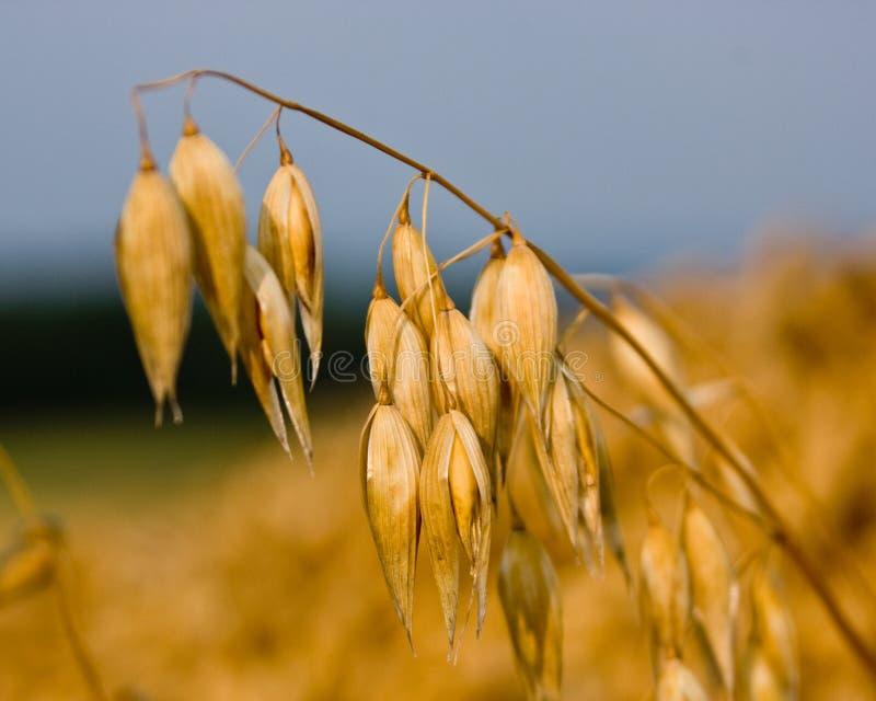 燕麦茎 免版税图库摄影