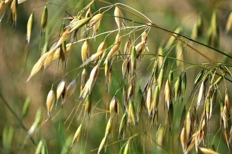 燕麦词根与钉的 免版税库存图片
