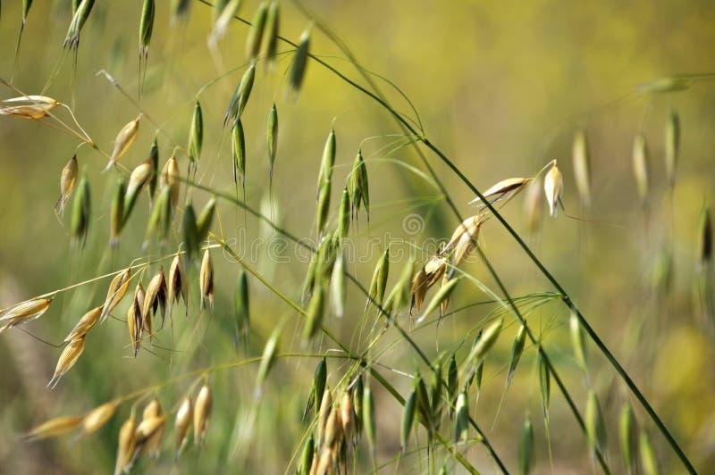 燕麦词根与钉的 库存图片