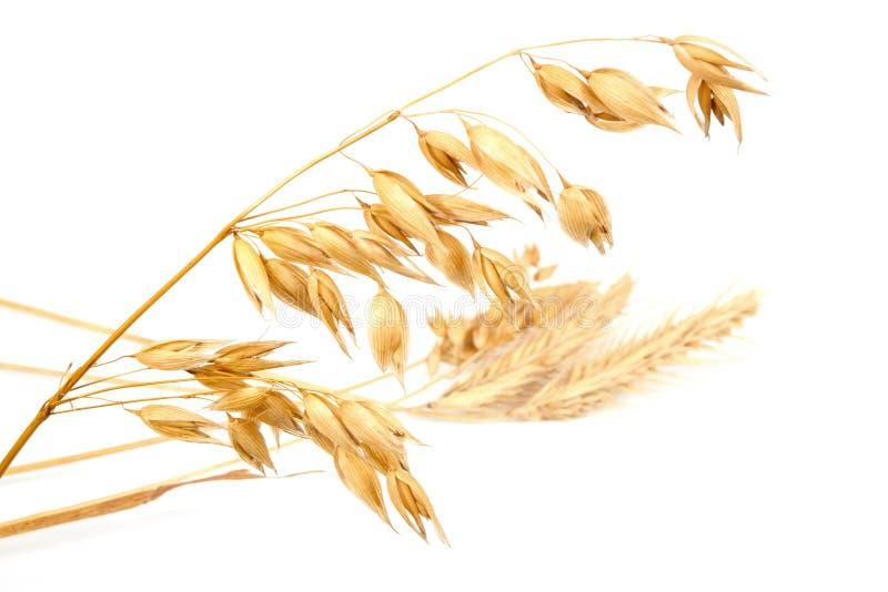 燕麦 库存照片