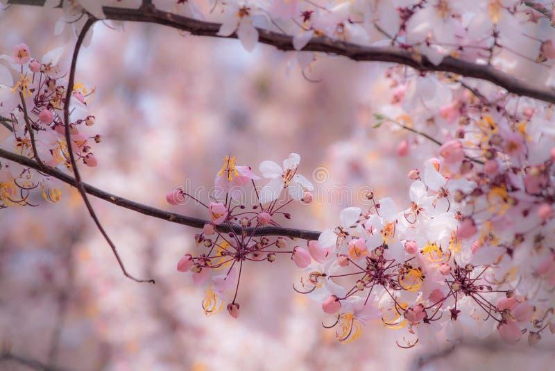 爪哇桂皮,桃红色和白色阵雨 免版税库存照片