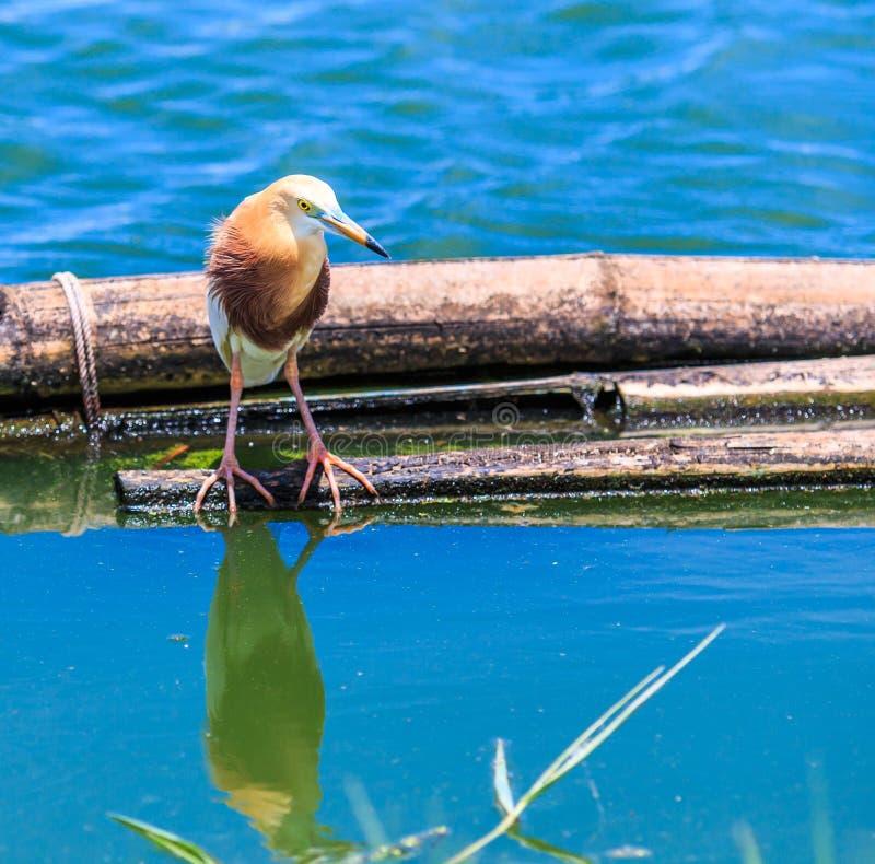 爪哇池塘苍鹭或Ardeola speciosa 库存照片