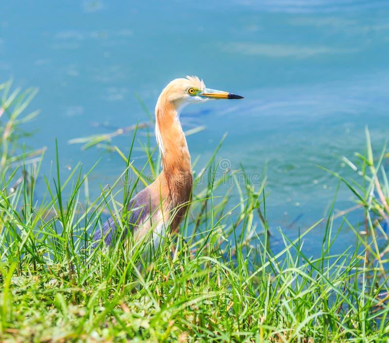 爪哇池塘苍鹭或Ardeola speciosa 免版税图库摄影