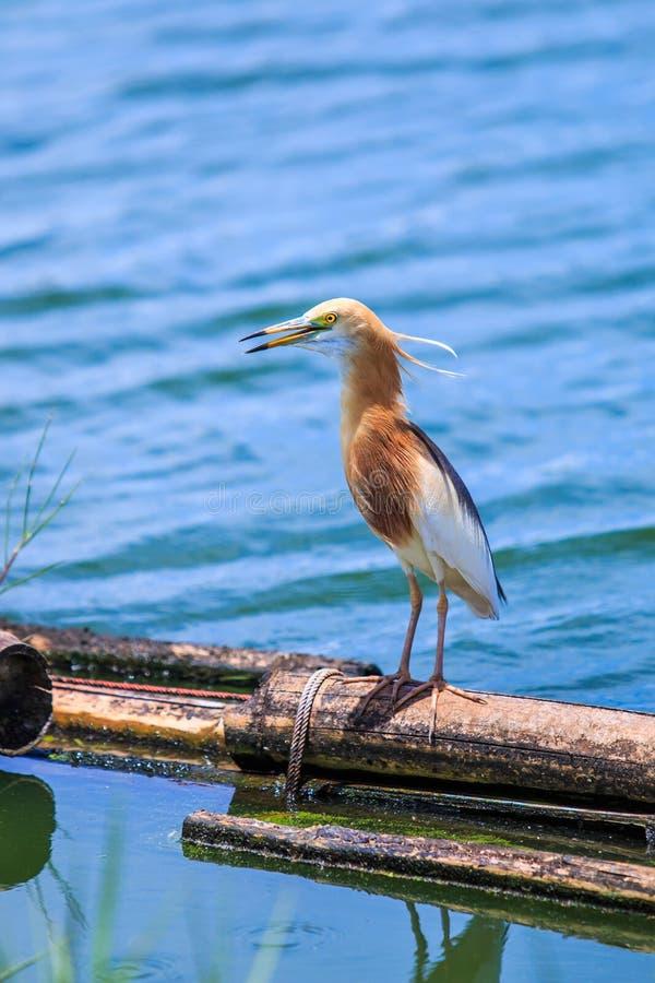 爪哇池塘苍鹭或Ardeola speciosa 免版税库存图片