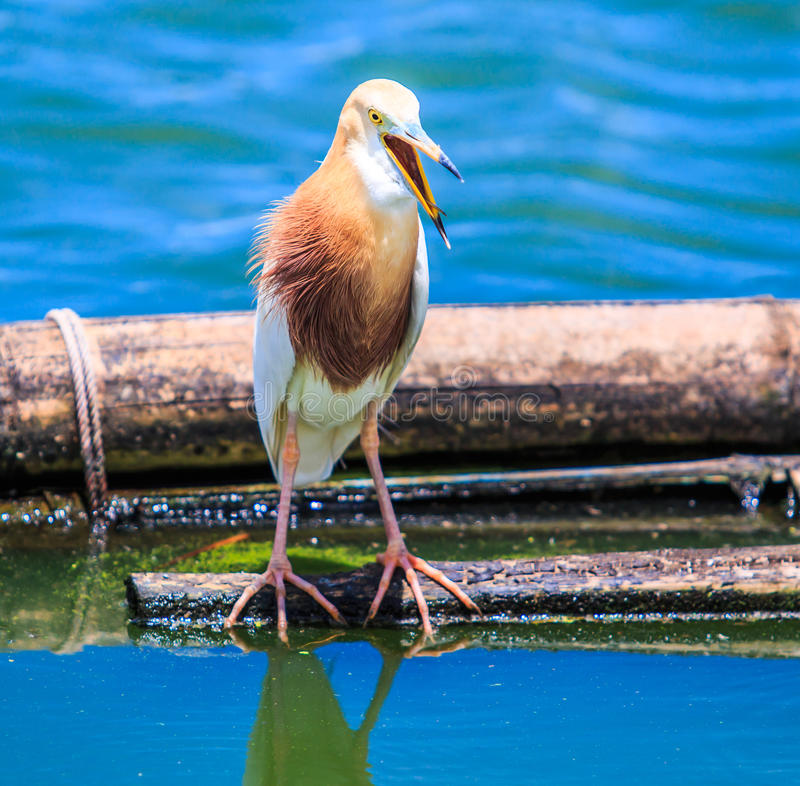 爪哇池塘苍鹭或Ardeola speciosa 库存图片