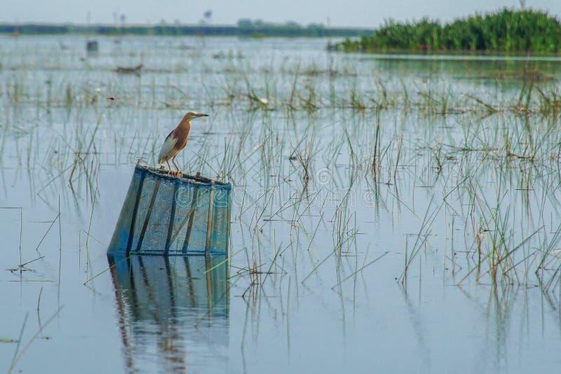 爪哇池塘苍鹭鸟Ardeola speciosa本质上在Thale Noi水鸟的预留湖,泰国 库存照片