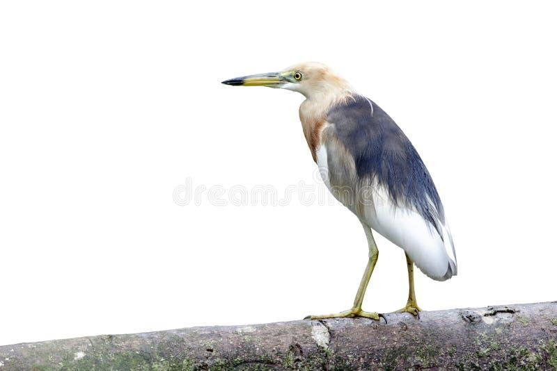 爪哇池塘苍鹭, Ardeola speciosa 免版税图库摄影