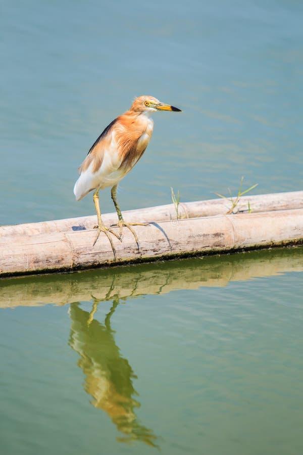 爪哇池塘苍鹭(Ardeola speciosa)亚洲泰国 库存照片