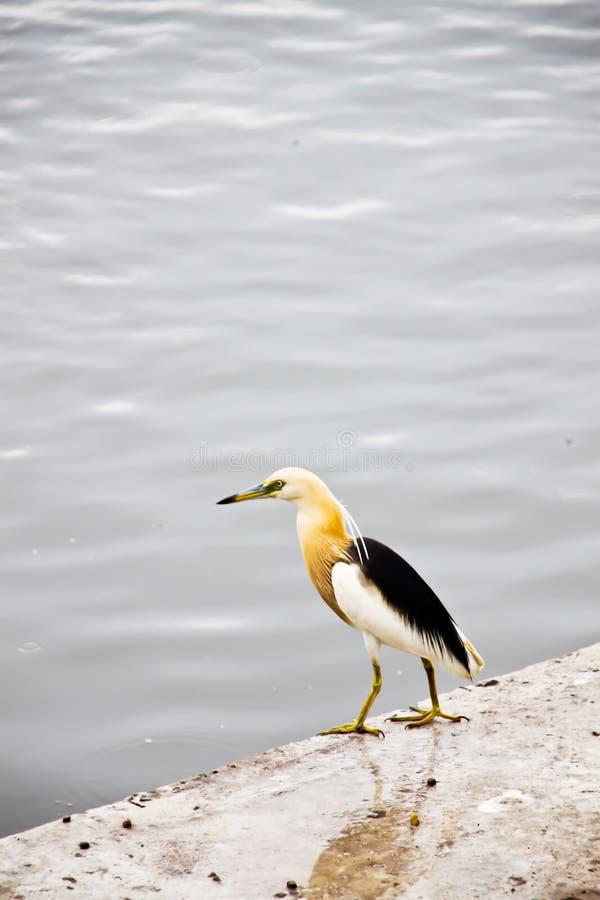 爪哇池塘苍鹭(Ardeola speciosa)在江边Tha奇恩角河 库存图片