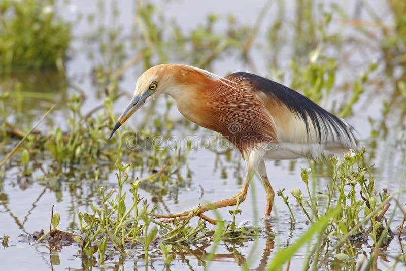 爪哇池塘苍鹭Ardeola泰国的speciosa鸟 免版税库存照片