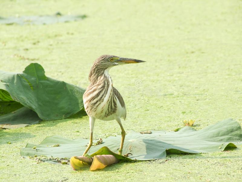 爪哇池塘苍鹭Ardeola speciosa 免版税库存照片