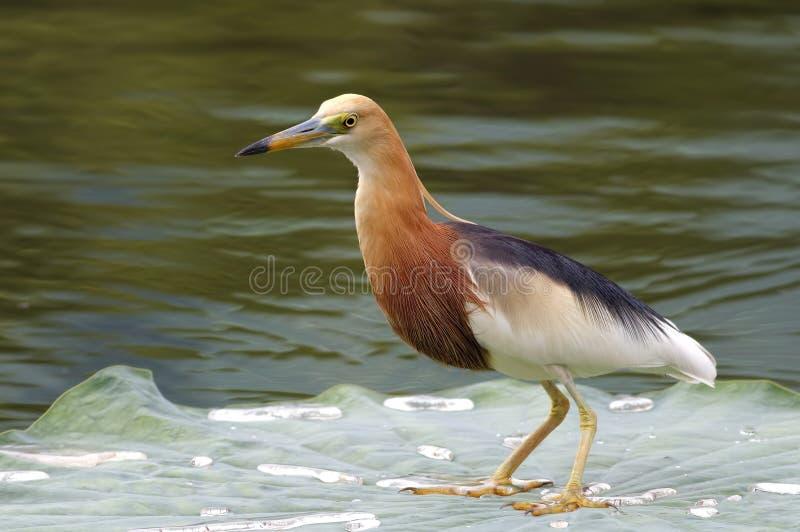 爪哇池塘苍鹭Ardeola speciosa 库存照片