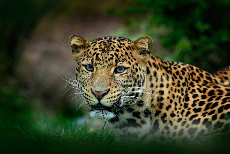 爪哇豹子,豹属pardus melas,猫画象  图库摄影