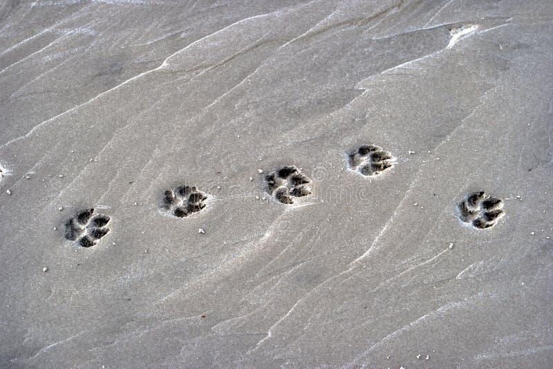 爪子打印狗在海滩 图库摄影