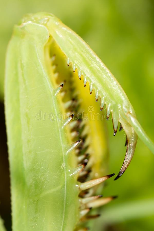 爪子螳螂 2009朵超级花宏观的夏天 图库摄影