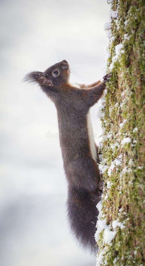 爬一棵树的红松鼠在冬天 库存图片