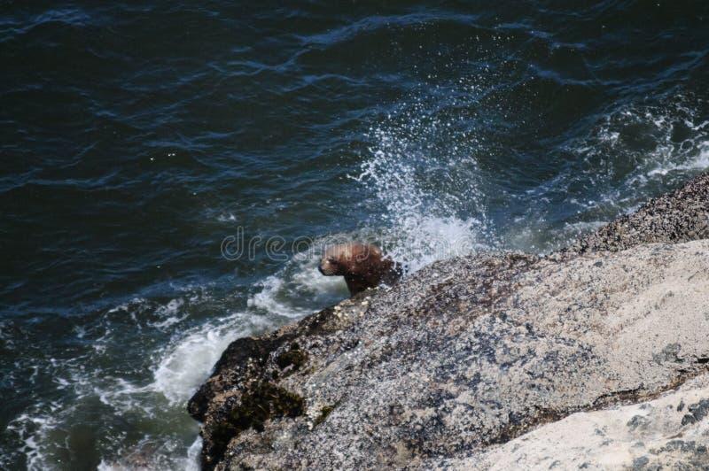 爬上一个岩石的海狮在俄勒冈 免版税图库摄影