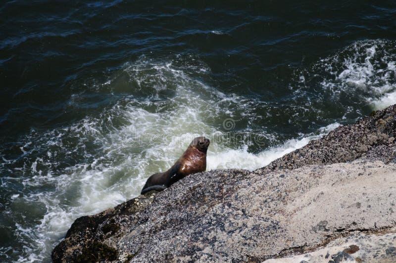 爬上一个岩石的海狮在俄勒冈 图库摄影