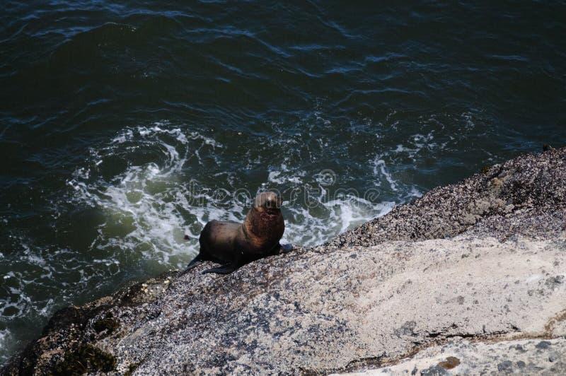 爬上一个岩石的海狮在俄勒冈 库存图片