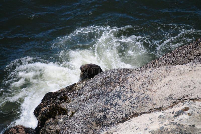 爬上一个岩石的海狮在俄勒冈 免版税库存照片