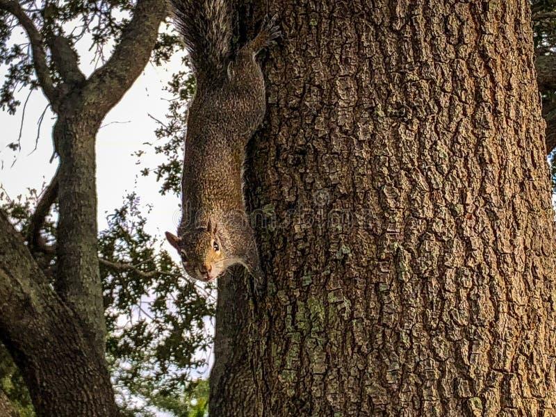 爬上树的灰鼠 免版税库存图片