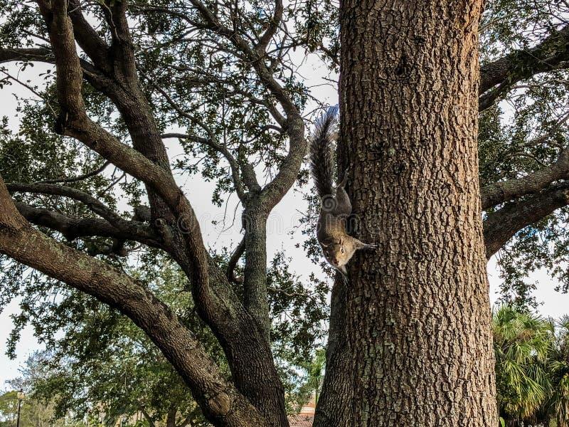 爬上树的灰鼠 库存图片