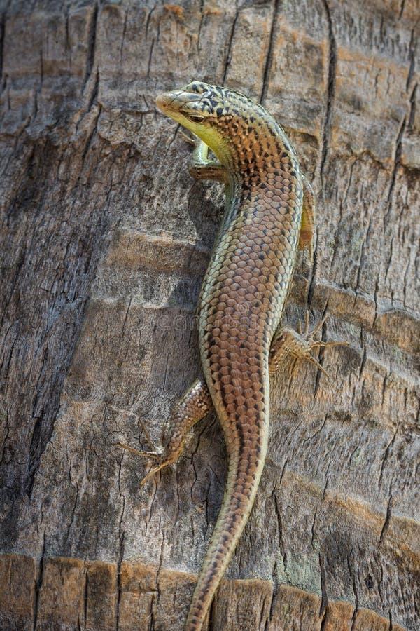 爬上棕榈树的一只胎生蜥蜴的特写镜头 免版税图库摄影